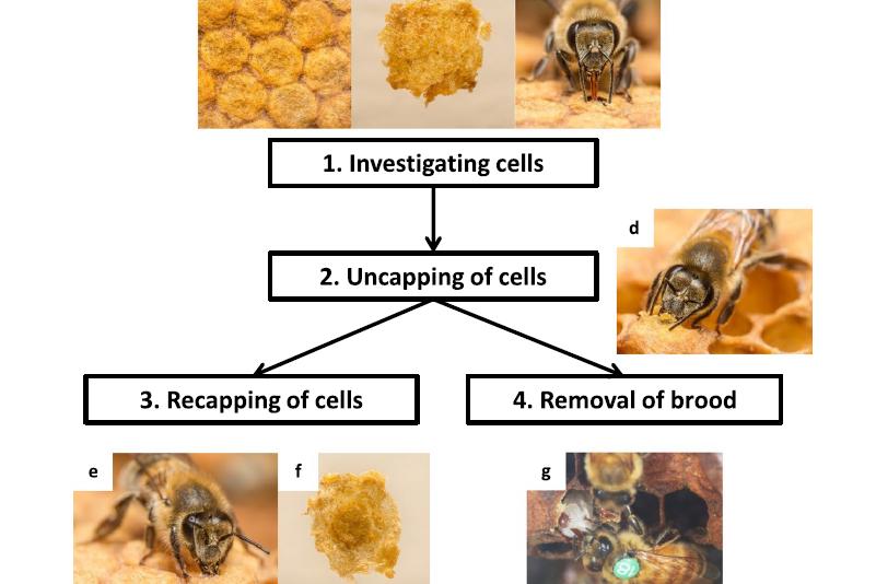 Disopercolatura e riopercolatura: un meccanismo per la resistenza dell'ape alla varroa? – Novità dalla ricerca