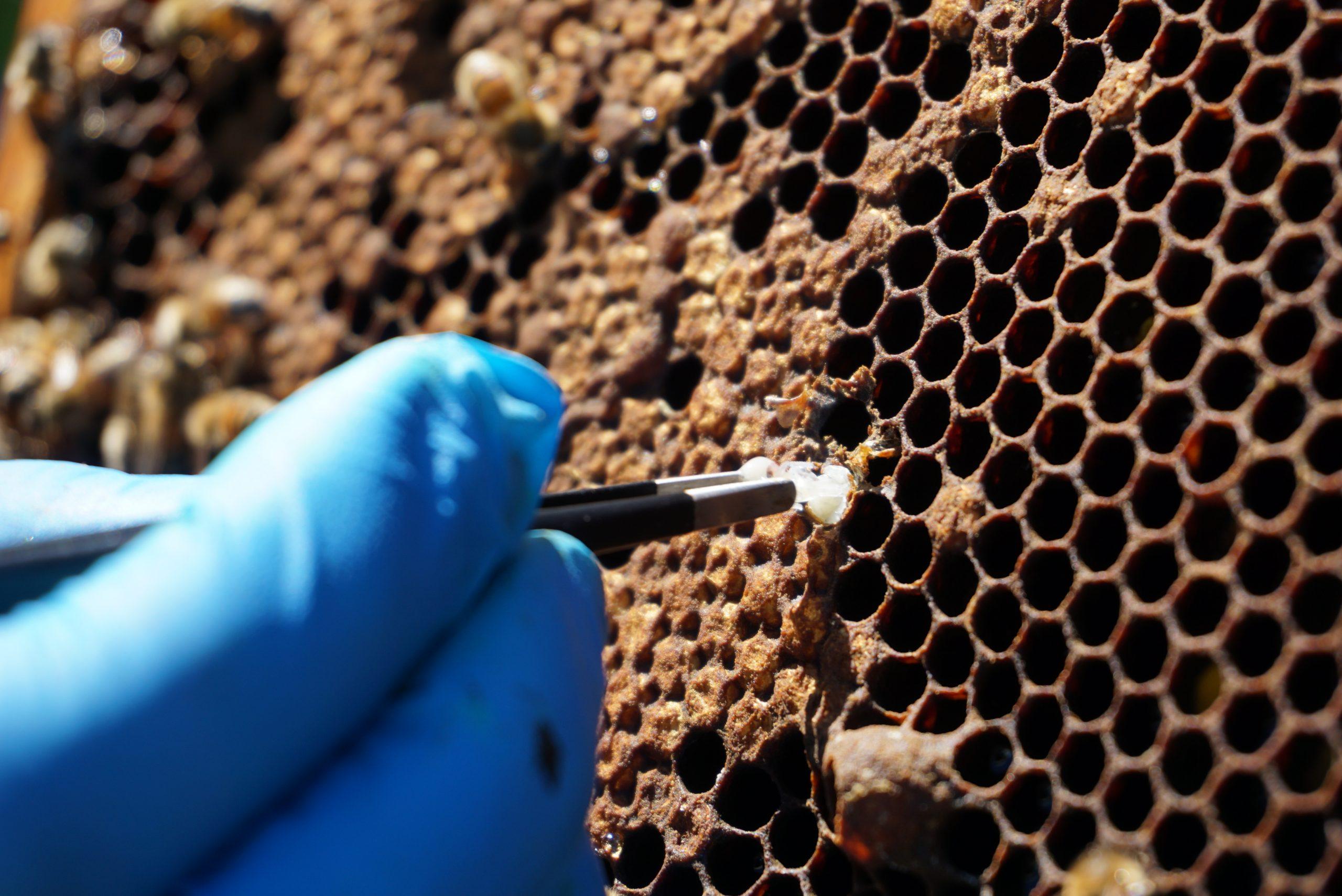 Il trattamento estivo con preparati a base di acido formico – efficacia sotto opercolo – parte II – Sanità apistica