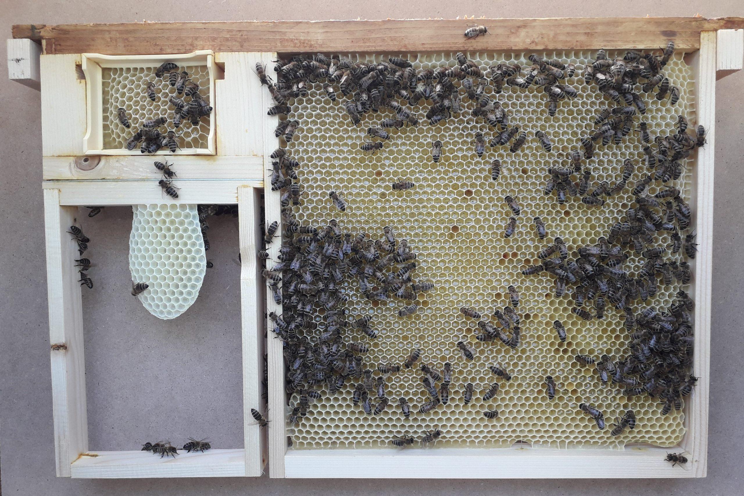 Zero sciamatura e controllo della varroa con il telaino a modulo intercambiabile Blancuzzi (TMB) – Dai nostri lettori