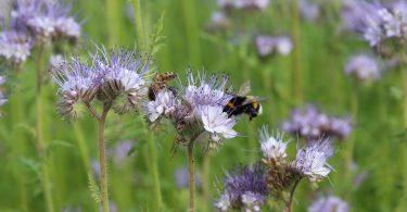 aspromiele api facelia oleggio